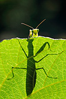 Praying Mantis silhouetted on a leaf, France