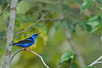 Red-legged Honeycreeper on a branch French Guiana (Red-legged Honeycreeper)