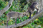 Fight Youth Ibex Creux du Van Jura Switzerland (Ibex)