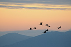 Flights from cinder crane above the lake Gallocanta Spain� (Common Crane)