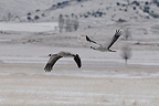 Cranes flying over Lake Gallocanta Spain (Common Crane)