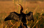 Aningha Africa is drying on a strain Chobe Botswana (African Darter)