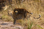 Leopard and young on back Jao Island Botswana Okavango (African leopard)