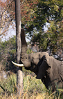 Elephant shaking a palm tree to bring down the nuts Okavango (African elephant)