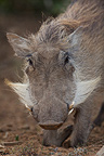 Portrait of a Common Warthog and mustache South africa (Warthog)
