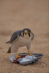 Jackal buzzard eating a Dove that has killed, South Arica