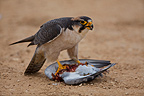 Jackal buzzard eating a Dove that has killed South africa (Jackal Buzzard)