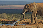 Elephant playing out of the water with his trunk RSA (African elephant)