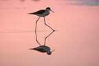 Black-winged Stilt walking in morning France (Black-winged Stilt)