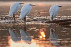 Little Egrets at sunrise La Dombes France (Little egret)