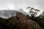 Portrait of a Kea in New Zealand (Kea)