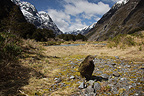 Kea near river in New Zealand (Kea)
