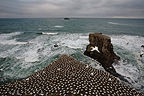 Colony of Australasian Gannet near ocean in New Zealand (Australasian Gannet)