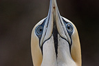 Close up of an Australasian Gannet in New Zealand (Australasian Gannet)