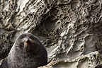 Portrait of a New Zealand Fur Seal New Zealand (New Zealand fur seal )