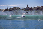 Bottlenose Dolphins wave jumping South Africa (Bottlenose dolphin )