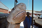 3 meter Tiger Shark hanging before preparing dissection RSA (Tiger shark )
