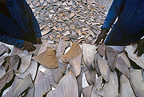 Drying Shark fins to Hong Kong for Shark fin soup RSA