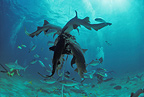 Shark feeding on bait with schooling sharks and reef fish (Nurse shark)