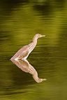 Indian Pond Heron in water Terai Nepal (Indian Pond Heron)