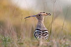 Hoopoe in the grass Bardia National Park Nepal (Hoopoe)