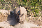 Indian Rhinoceros walking on a bank Bardia Nepal (Indian rhinoceros)