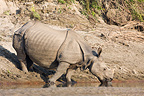 Indian Rhinoceros drinking on a bank Bardia Nepal (Indian rhinoceros)