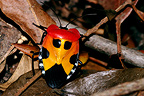 Sing bug on dead leaves Ankarafantsika Madagascar�