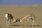 Soemmerring's Gazelles fighting (Soemmerring's Gazelle)