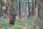 Deer in the undergrowth after the soils Center France (Red deer)