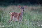 Young Red Deer in a pond Center France  (Red deer)