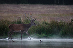 Male Red Deer velvet on the edge of a pond Centre France (Red deer)