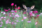 Young Red Deer in a flowered fallow Center France (Red deer)