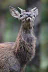 Young male Red Deer rutting Haute-Touche Centre France (Red deer)