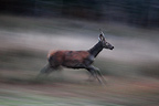 Young male Red Deer running at dusk Centre France (Red deer)