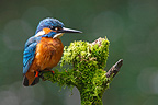 Male Kingfisher standing on a mossy branch (Common Kingfisher)