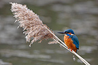 Male Kingfisher standing on a reed GB (Common Kingfisher)