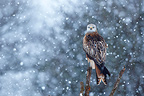 Red kite in a snow storm GB (Red Kite)
