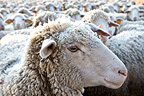 Sheep 'Mérinos d'Arles' in winter Provence France  (sheep-domestic)