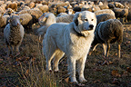 Pyrenean Mountain Dog and Sheep 'Mérinos d'Arles' Provence