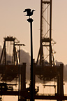 Gulls and jib cranes in the port of Rotterdam, Netherlands (Herring Gull)