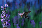 Olive Bee Hawk-moth in flight Auvergne France