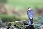 Male Merlin standing on a dry stone wall GB (Merlin)
