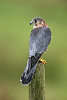 Male Merlin standing on a picket GB (Merlin)