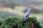 Male Merlin standing on a bush of gorse GB (Merlin)
