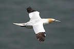 Gannet flying above the sea GB (Northern Gannet)
