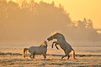 Jousting between Camargue stallion in a pasture at dawn France (Camargue horse)