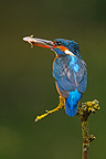 Female Kingfischer with a fish in the bill GB (Kingfisher)