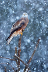 Red kite on a tree in snow storm GB (Red Kite)