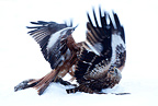 Two Red kites fighting in the snow for a prey  GB (Red Kite)